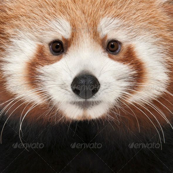 Close-up of Young Red panda or Shining cat, Ailurus fulgens, 7 months old - Stock Photo - Images