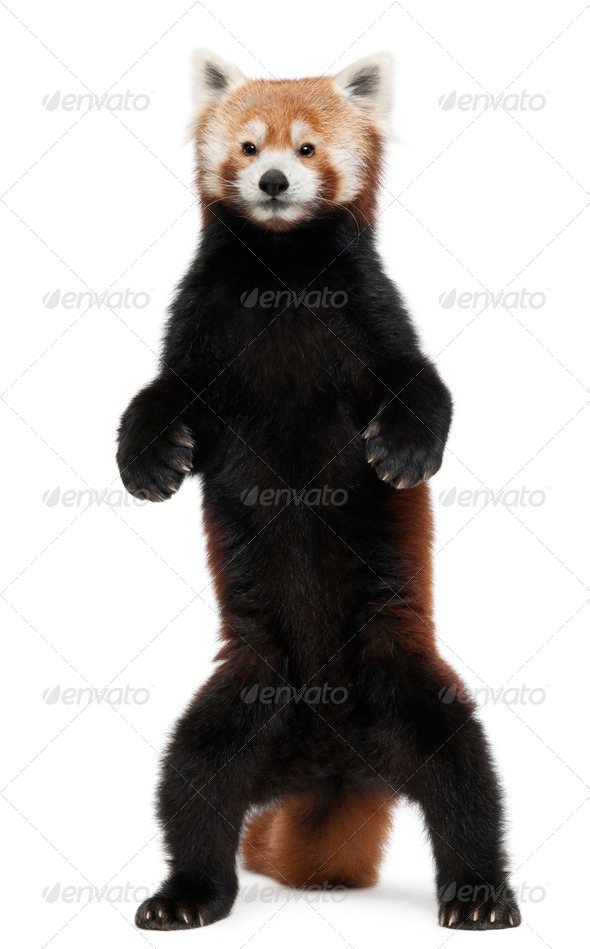 Old Red panda or Shining cat, Ailurus fulgens, 10 years old, standing in front of white background - Stock Photo - Images