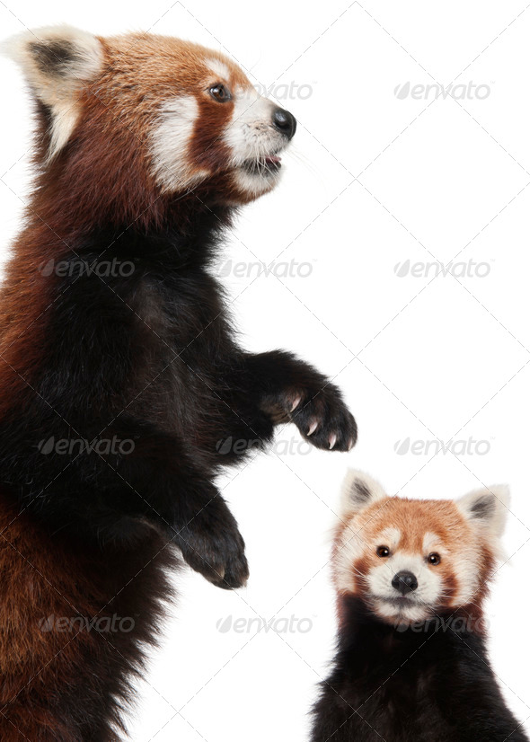 Old Red pandas or Shining cats, Ailurus fulgens, 10 years old, in front of white background - Stock Photo - Images