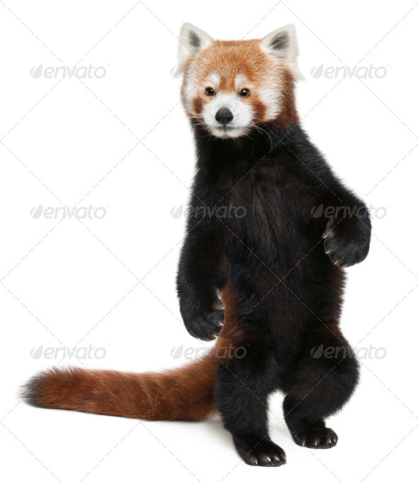 Old Red panda or Shining cat, Ailurus fulgens, 10 years old, walking in front of white background - Stock Photo - Images