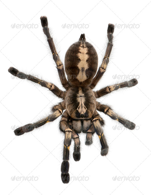 Tarantula spider, Poecilotheria Metallica, in front of white background - Stock Photo - Images