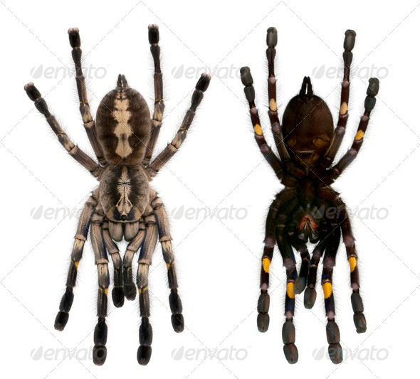 Tarantula spiders, Poecilotheria Metallica, in front of white background - Stock Photo - Images