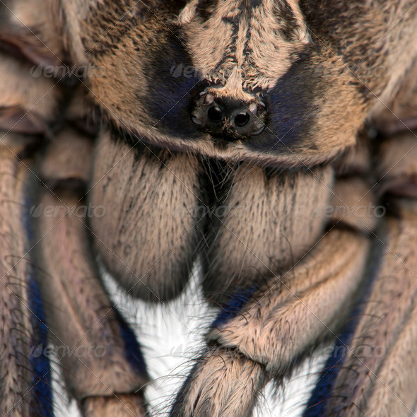 Close-up of Tarantula spider, Poecilotheria Metallica, in front of white background - Stock Photo - Images