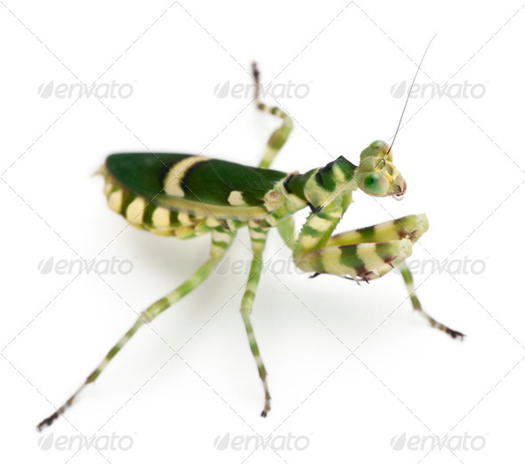 Female Banded Flower Mantis or Asian Boxer Mantis, Theopropus elegans, in front of white background - Stock Photo - Images