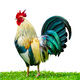 Rooster, Isolated On White - PhotoDune Item for Sale