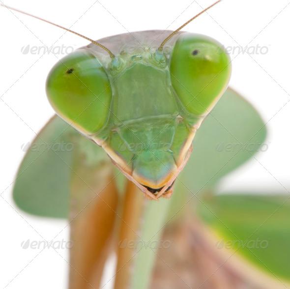 Close-up of Female Praying Mantis, Rhombodera Basalis, in front of white background - Stock Photo - Images