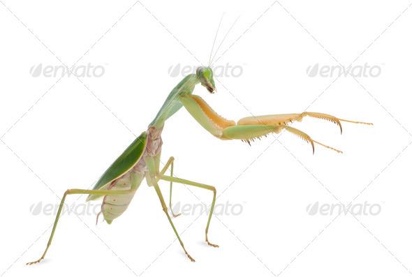 Female Praying Mantis, Rhombodera Basalis, in front of white background - Stock Photo - Images