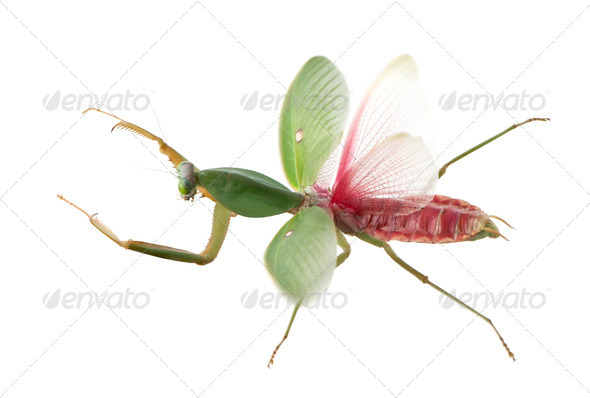 Female Praying Mantis, Rhombodera Basalis, in front of white background - Stock Photo - Images