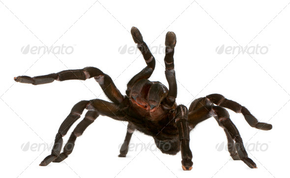 Tarantula spider attacking, Haplopelma Minax, in front of white background - Stock Photo - Images