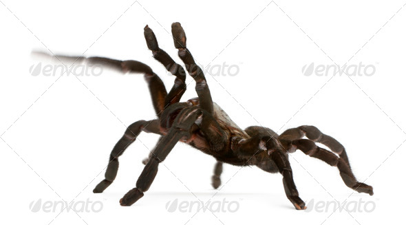 Tarantula spider, Haplopelma Minax, in front of white background - Stock Photo - Images