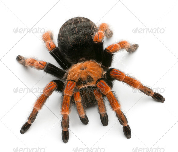 Tarantula spider, Brachypelma Boehmei, in front of white background - Stock Photo - Images