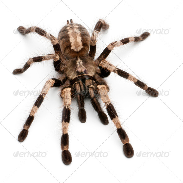 Tarantula spider, Poecilotheria Miranda, in front of white background - Stock Photo - Images