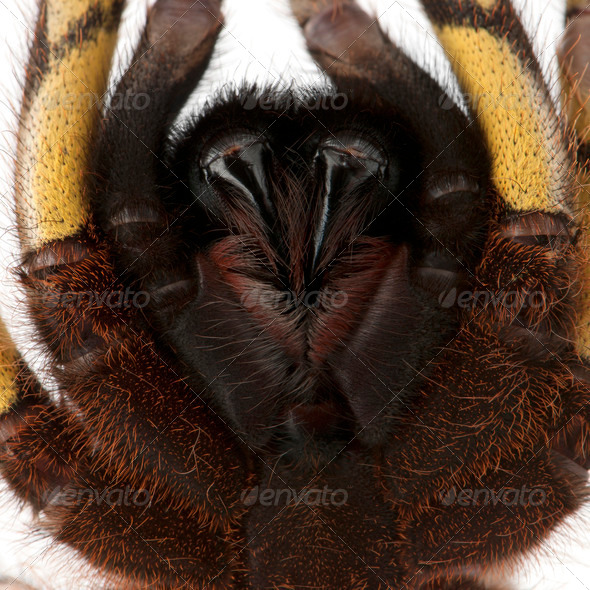 Close-up of Tarantula spider, Poecilotheria Fasciata, in front of white background - Stock Photo - Images