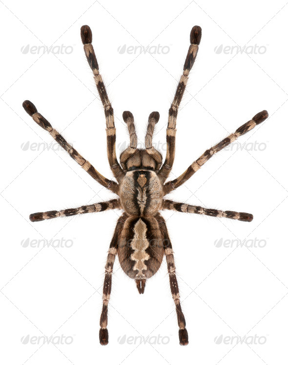 Tarantula spider, Poecilotheria Fasciata, in front of white background - Stock Photo - Images
