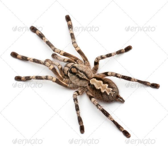 Tarantula spider, Poecilotheria Fasciata, in front of white background - Stock Photo - Images