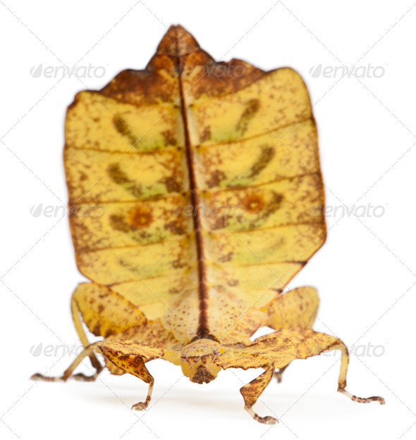 Phyllium Westwoodii, a stick insect, in front of white background - Stock Photo - Images