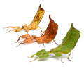 Phyllium Westwoodii, three stick insects, in front of white background