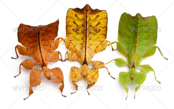 Phyllium Westwoodii, three stick insects, in front of white background - Stock Photo - Images