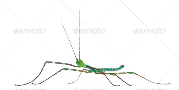 Myronides Sp, stick insect, in front of white background - Stock Photo - Images