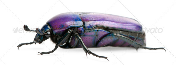 Beetle, Chlorocala Africana Oertzeni, in front of white background - Stock Photo - Images