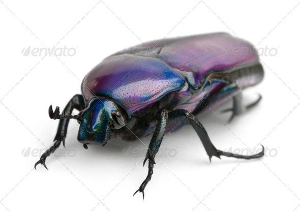 Beetle, Chlorocala Africana Oertzeni, in front of white background - Stock Photo - Images