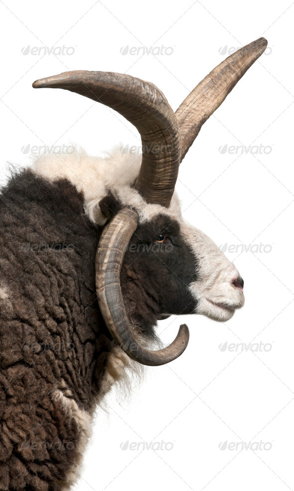 Multi-horned Jacob Ram, Ovis aries, in front of white background - Stock Photo - Images