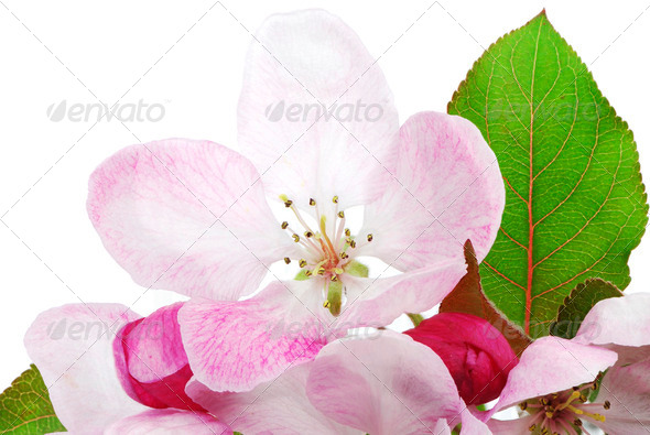 Isolated Apple Blossom - Stock Photo - Images