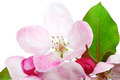 Isolated Apple Blossom - PhotoDune Item for Sale