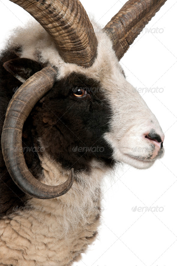 Close-up of Multi-horned Jacob Ram, Ovis aries, in front of white background - Stock Photo - Images