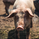Pig on the farm. Bad conditions, pets - PhotoDune Item for Sale