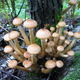 Honey mushrooms growing at tree - PhotoDune Item for Sale