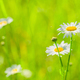 Chamomile on grass background on a sunny summer day - PhotoDune Item for Sale