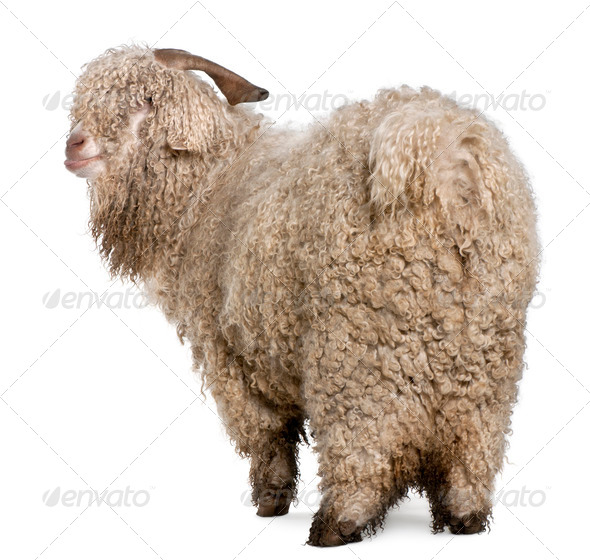 Angora goat in front of white background - Stock Photo - Images