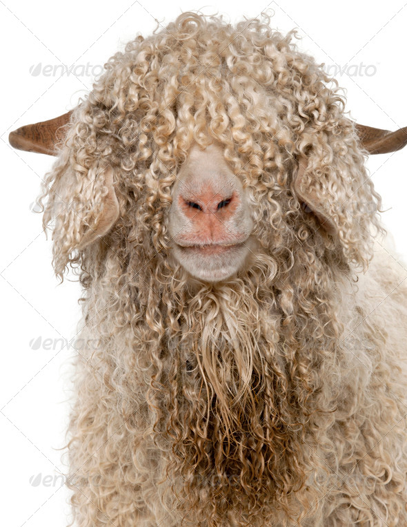 Close-up of Angora goat in front of white background - Stock Photo - Images