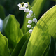 Blooming Lily of the valley flover - PhotoDune Item for Sale