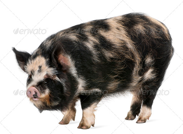 Kounini pig in front of white background - Stock Photo - Images