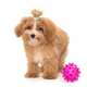 Little puppy maltipoo and ball - PhotoDune Item for Sale