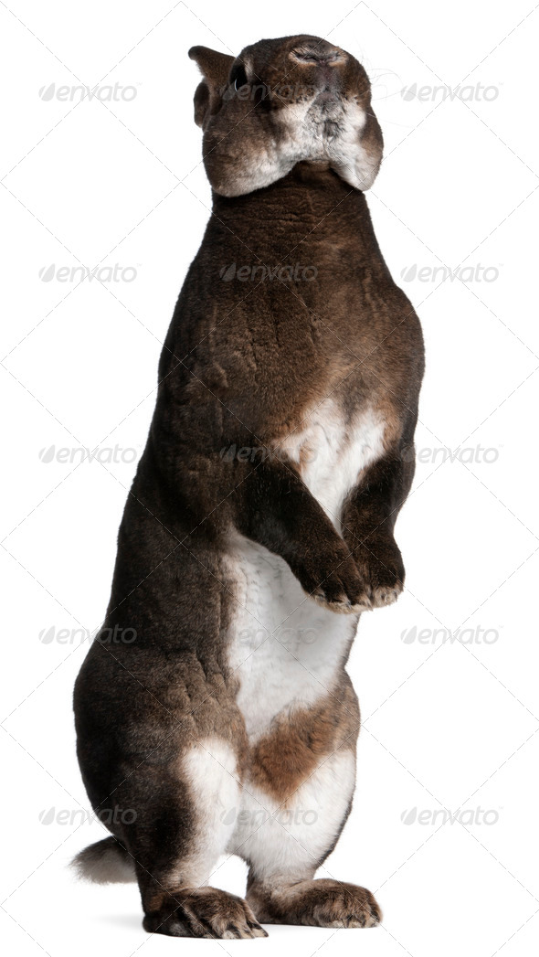 Castor Rex rabbit standing on hind legs in front of white background - Stock Photo - Images