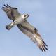 Osprey - PhotoDune Item for Sale