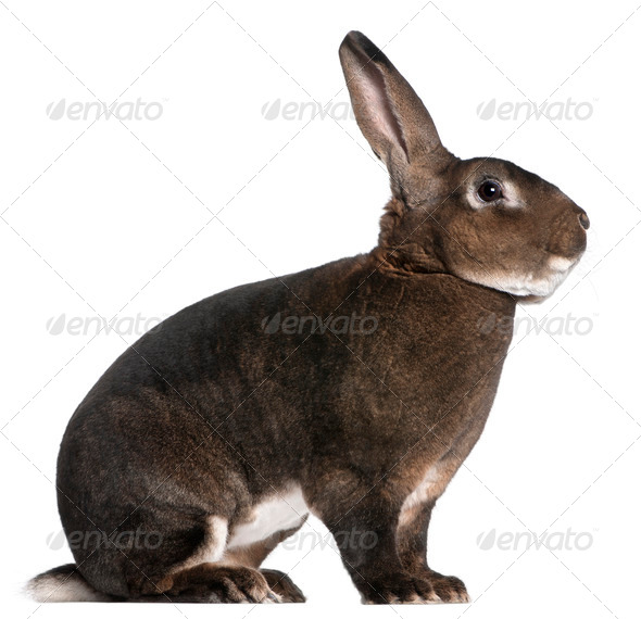 Castor Rex rabbit in front of white background - Stock Photo - Images