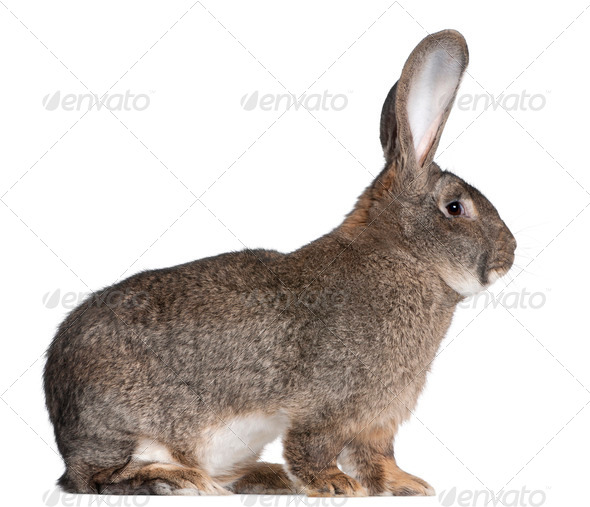 Flemish Giant rabbit in front of white background - Stock Photo - Images