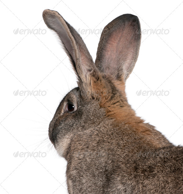 Close-up of Flemish Giant rabbit in front of white background - Stock Photo - Images