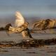 Common starling (Sturnus vulgaris) - PhotoDune Item for Sale