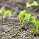 Newly planted bean seedlings. - PhotoDune Item for Sale