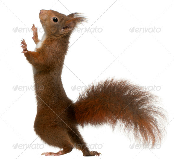 Eurasian red squirrel on hind legs, Sciurus vulgaris, 4 years old, in front of white background - Stock Photo - Images