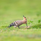hoopoe closeup on grass - PhotoDune Item for Sale