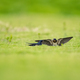 cute swallow on grass - PhotoDune Item for Sale