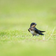 swallow stood on the grass - PhotoDune Item for Sale