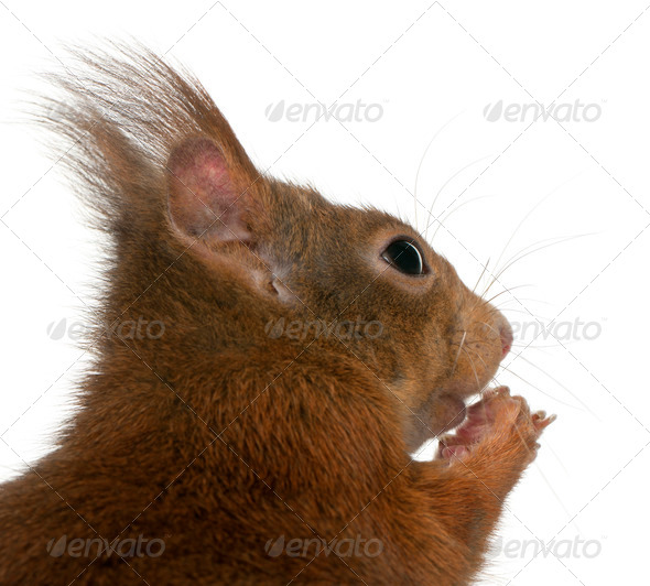 Close-up of Eurasian red squirrel, Sciurus vulgaris, 4 years old, in front of white background - Stock Photo - Images