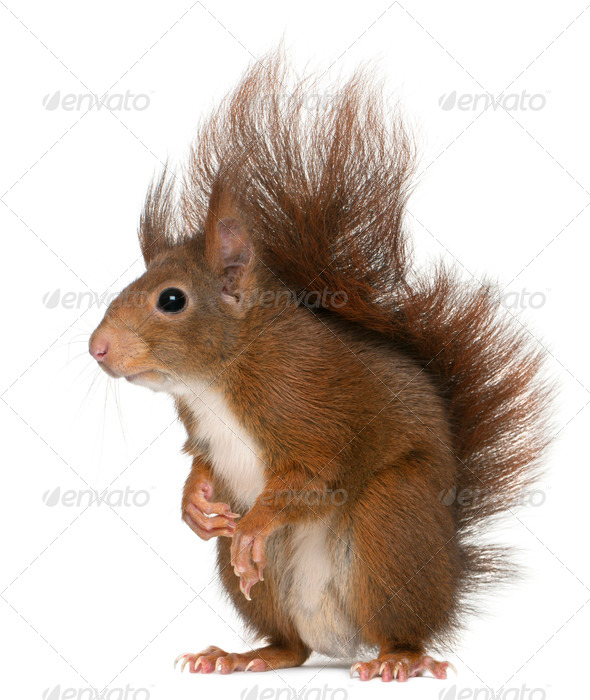 Eurasian red squirrel, Sciurus vulgaris, 4 years old, in front of white background - Stock Photo - Images
